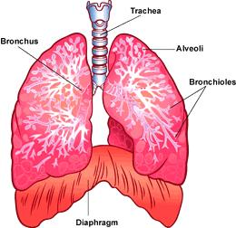 Respiration All animals take in oxygen and give off carbon dioxide Respire through lungs, gills, skin, or