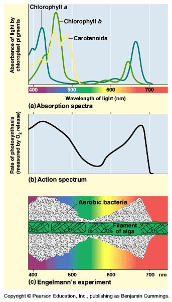 Visible Light: absorption spectra What structures absorb the light?