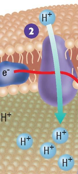 Two Electron Transport Chains, continued Producing ATP Step 2: Excited electrons transfer some of their energy