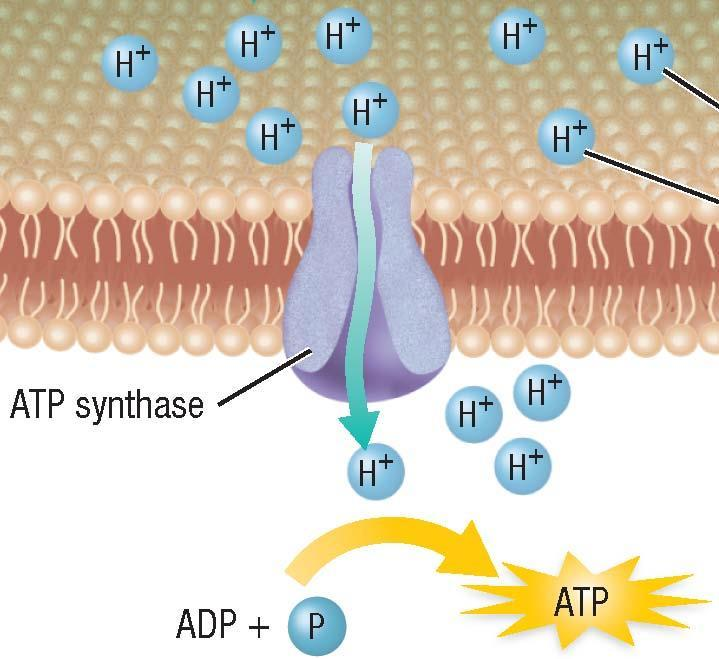 Two Electron Transport Chains, continued Producing ATP Step 3: The energy from diffusion of H+ ions through the channel