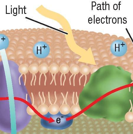 Two Electron Transport Chains, continued Producing NADPH Step 4: Light excites electrons in another chlorophyll