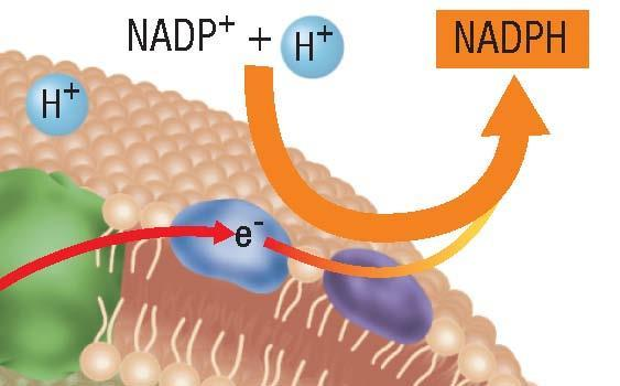 Two Electron Transport Chains, continued Producing NADPH Step 5: Excited electrons combine with H+ ions and NADP+ to