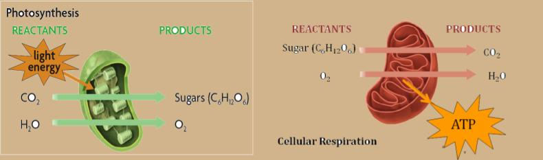 Check Your Understanding: Reactants Products Respiration: C 6 H 12 O 6 O 2 ATP CO 2 H 2 O Photosynthesis: H 2 O CO 2 C 6 H 12 O 6 Sunlight O 2 Can you observe any