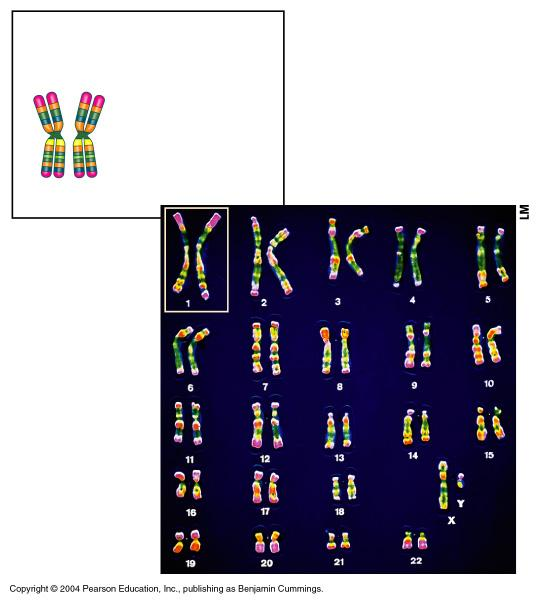 Each color is a gene Pair of homologous chromosomes Centromere Sister