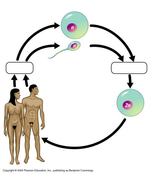 Gametes and the Life Cycle of a Sexual Organism The life cycle of a multi-cellular organism is the sequence of stages leading from the adults of one generation to the adults of the