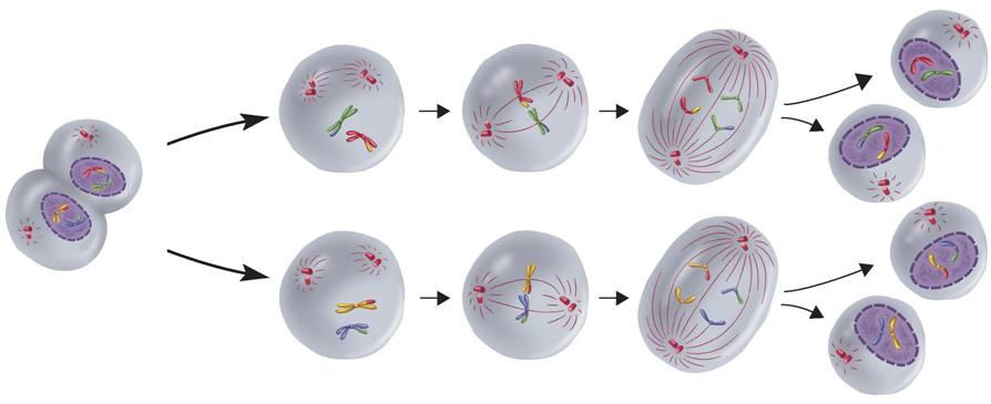 Phases of Meiosis II