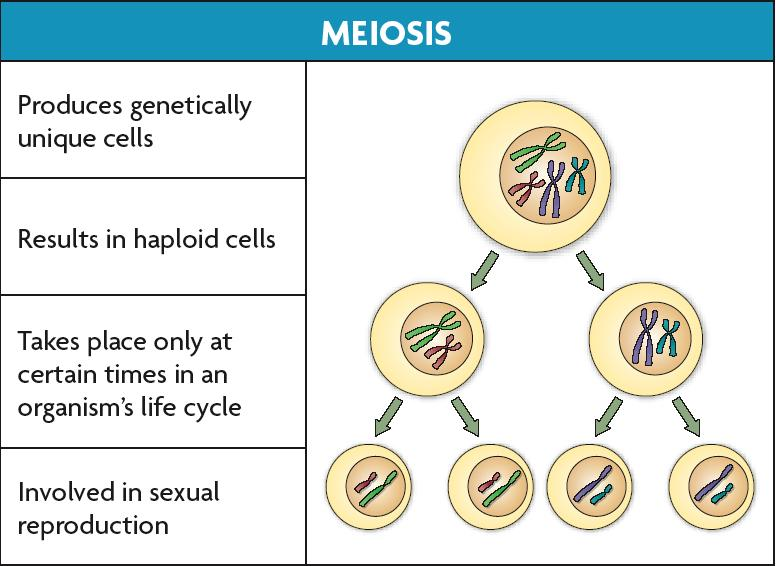 cells Daughter cells are genetically identical to
