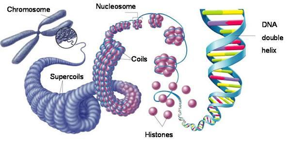 Chromosomes Chromosomes are made up of DNA wound tightly around proteins called histones Histones + DNA = chromatin