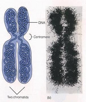 Chromosomes Are generally represented in their duplicated form A single duplicated chromosome has two
