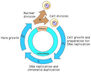 Cell Cycle During the cell cycle, a cell grows, prepares for division, and divides to form 2 daughter cells, each of which then