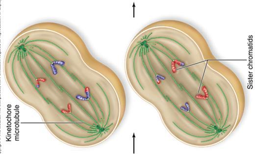 Anaphase II The sister chromatids separate and move