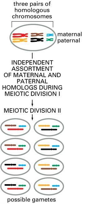 One Way Meiosis Makes Lots of Different Sex Cells (Gametes) Independent Assortment Independent assortment produces 2 n distinct
