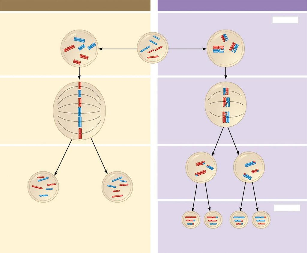 A comparison of mitosis and meiosis MITOSIS MEIOSIS Parent cell (before chromosome replication) Chiasma (site of crossing over) MEIOSIS I Prophase Duplicated chromosome (two sister chromatids)