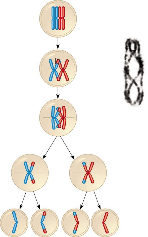 Crossing Over Crossing over Produces recombinant chromosomes that carry genes derived from two different parents Prophase I of meiosis