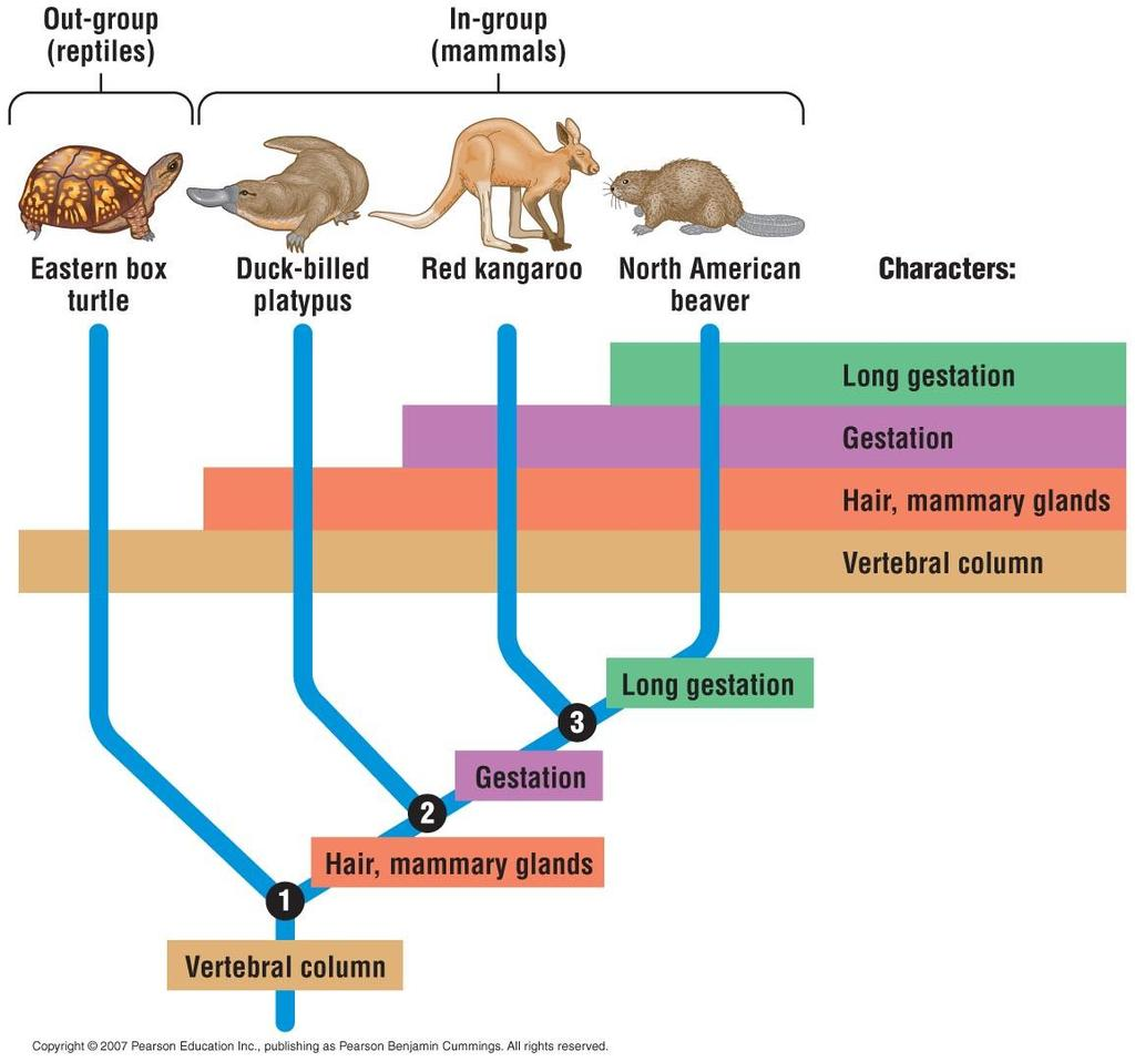 -This is an example of cladistics. -In the picture the 3 mammals are compared to the turtle.