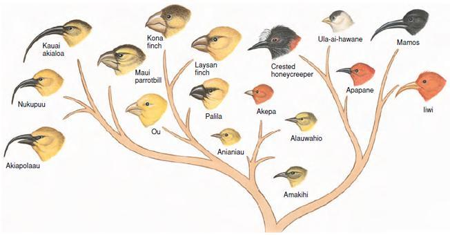Branching evolution splits a lineage into two or more species, thereby