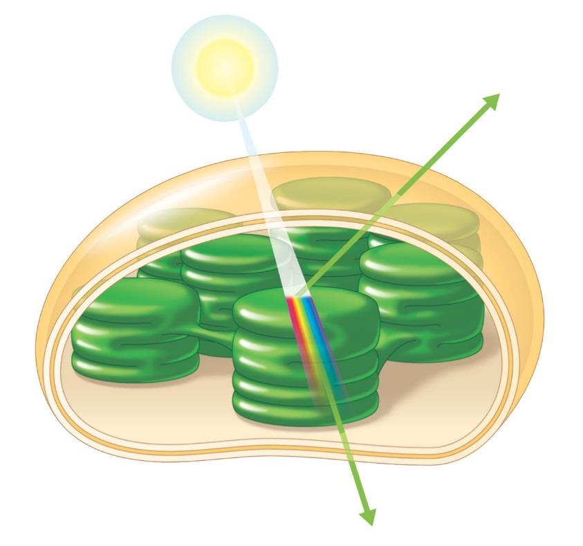Photosynthetic Pigments: The Light Receptors Pigments Are