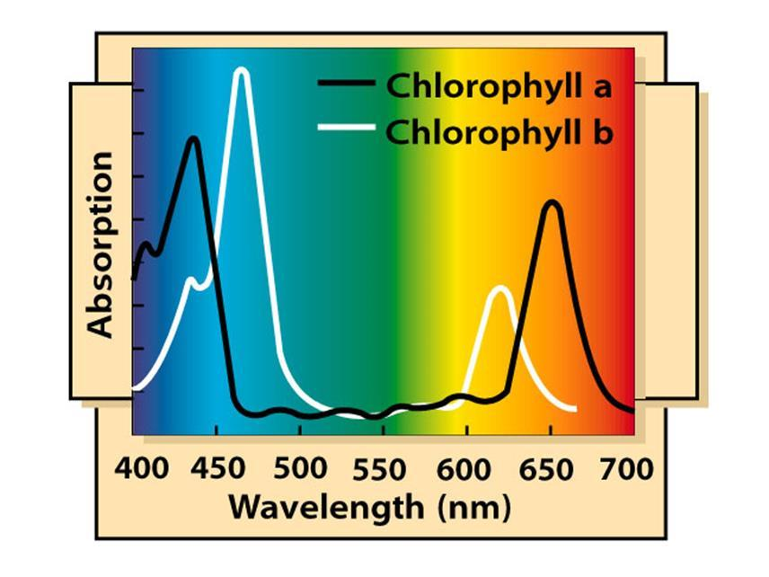 The absorption spectra of chloroplast pigments Provide clues to the