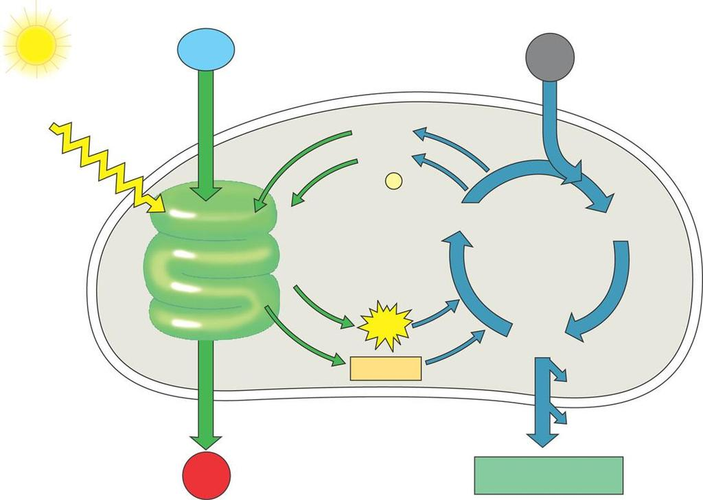 The Importance of Photosynthesis: A Review A review of photosynthesis Light reaction Calvin cycle H 2 O CO 2 Light NADP + ADP + P 1 RuBP 3-Phosphoglycerate Figure 10.