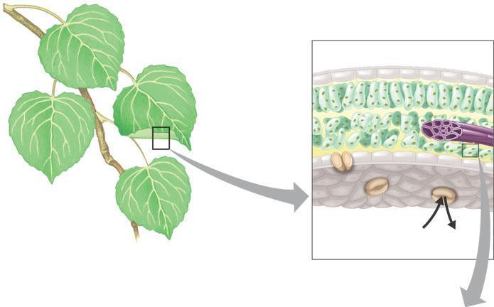 Chloroplasts: The Sites of Photosynthesis in Plants The leaves of plants Are the major