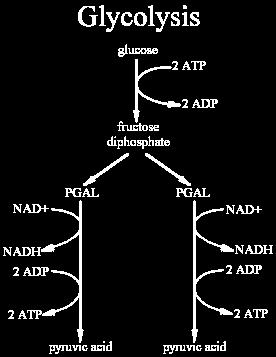 Glycolysis Two ATP are used to split glucose (1) Enzymes react with this newly spit glucose, and released electrons, to form 2 NADH (2)