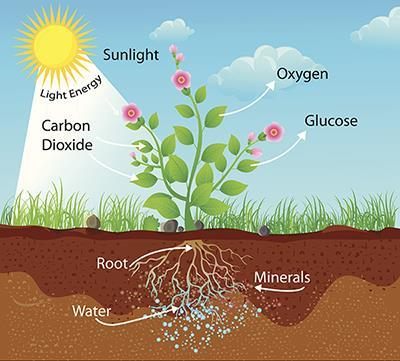 Photosynthesis converts water, carbon dioxide, and light energy into chemical energy and