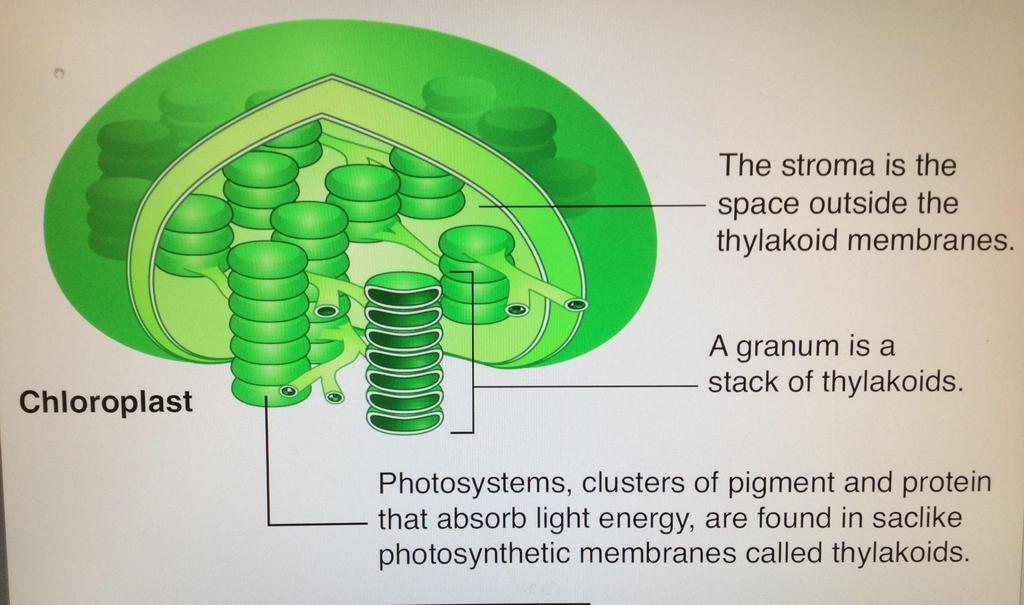 The chloroplast is the organelle