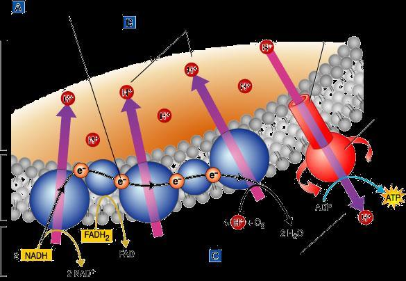Electron Transport Chain Process occurs in the inner membrane Uses the NADH and FADH 2 to convert ADP into ATP