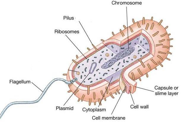 Principles of the Cell Theory 1. All living things are made of one or more cells. 2. Cells are the basic unit of structure & function in organisms. 3.