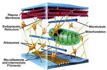 and move Has own DNA and can self-replicate Cytoskeleton Centrioles Very active cells have more
