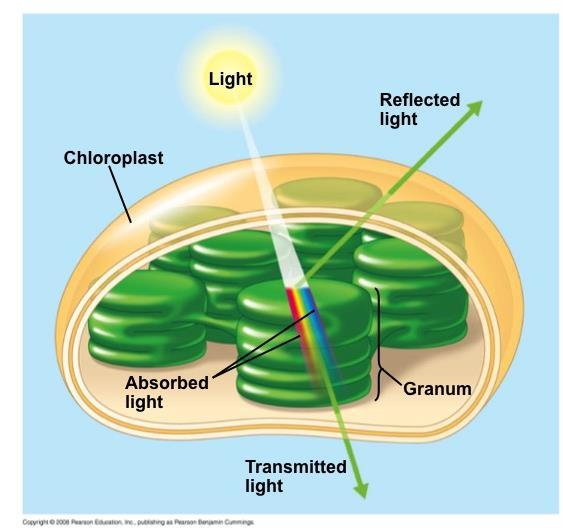 Photosynthetic Pigments: The Light Receptors Pigments are substances that absorb visible light Different pigments absorb different