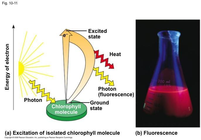 Excitation of Chlorophyll by Light When a pigment absorbs light, it goes from a ground state to an excited state, which is unstable When excited electrons fall back to