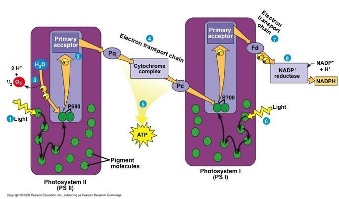 Each electron falls down an electron transport chain from the primary electron acceptor of PS I to the protein ferredoxin (Fd) The
