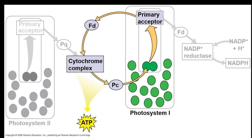 Cyclic Electron Flow Cyclic electron flow uses only photosystem I and produces ATP, but not NADPH Cyclic electron flow generates surplus ATP, satisfying the higher demand in the Calvin cycle Some