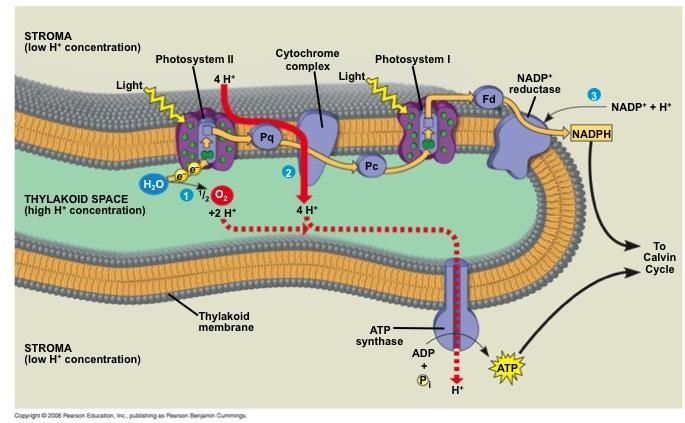 ATP and NADPH are produced on the side facing the stroma, where the Calvin cycle takes place In summary,