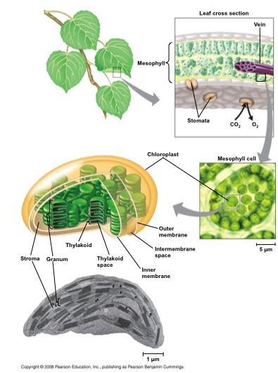 Chloroplasts are found mainly in cells of the mesophyll, the interior tissue of the leaf A typical mesophyll cell has 30 40 chloroplasts The chlorophyll is in