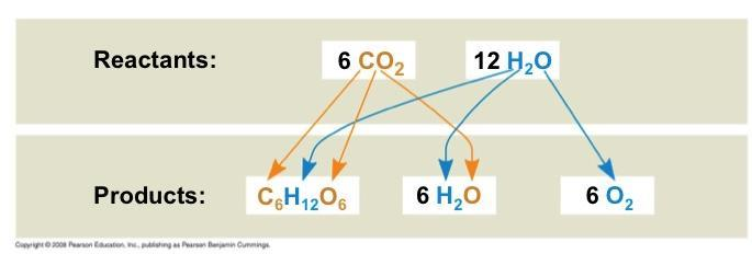 Tracking Atoms Through Photosynthesis Photosynthesis can be summarized as the following equation: 6 CO 2 + 12 H 2 O + Light energy C 6 H 12 O 6 + 6 O 2 + 6 H 2 O Chloroplasts