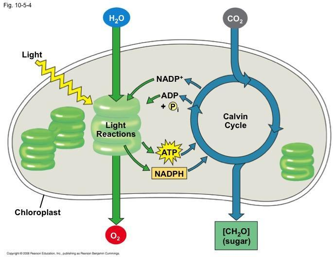 The Two Stages of Photosynthesis: A Preview Photosynthesis consists of the light reactions (the photo part) and Calvin cycle (the synthesis part) The light reactions (in the thylakoids): Split H 2 O
