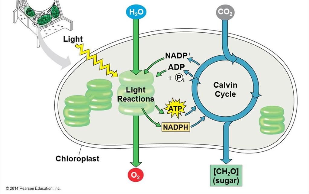 The light reactions (in the thylakoids) Split H 2 O Release O 2 Reduce the electron