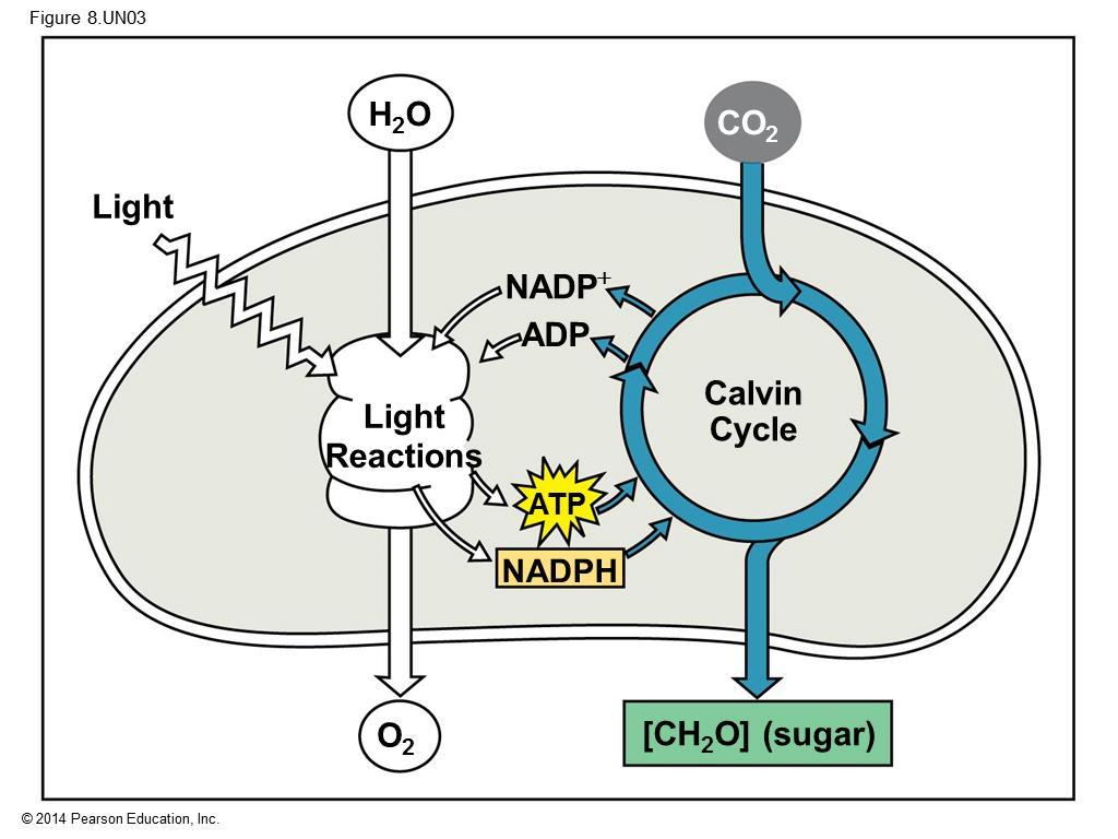 The Calvin cycle uses the chemical