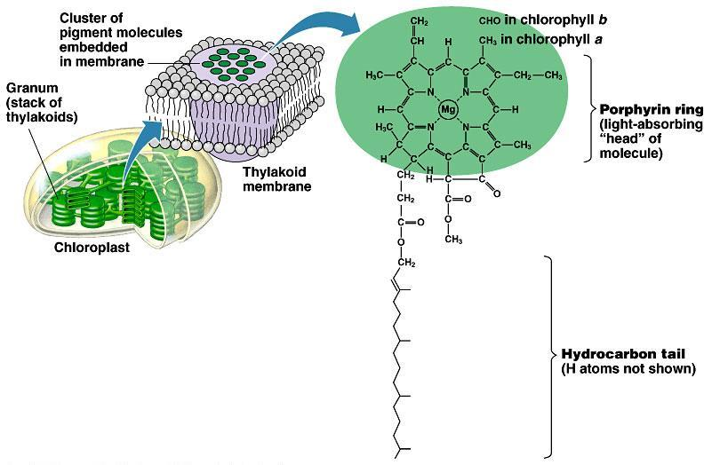 Chlorophylls & other pigments embedded in thylakoid membrane arranged in a photosystem