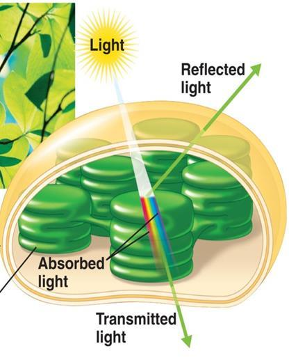 II. Making Glucose - Photosynthesis Second in order for photosynthesis to occur, plants must have energy absorbing pigments these are in the thylakoid membranes within the chloroplast!