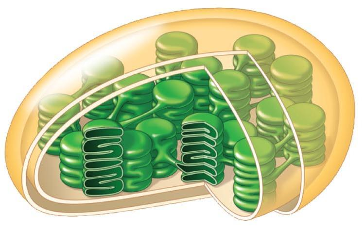 II. Making Glucose - Photosynthesis Chloroplasts have two parts