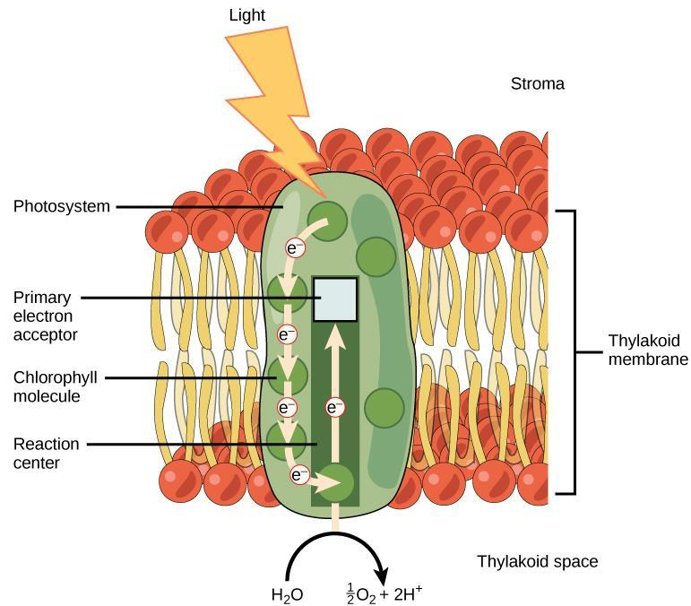 II. Making Glucose Photosynthesis The Light-Dependent Reactions 1. Photon hits molecule of chlorophyll in the photosystem integral membrane protein & pigment complex. 2.
