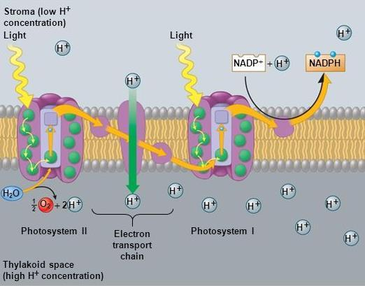 II. Making Glucose Photosynthesis The Light-Dependent Reactions 5.