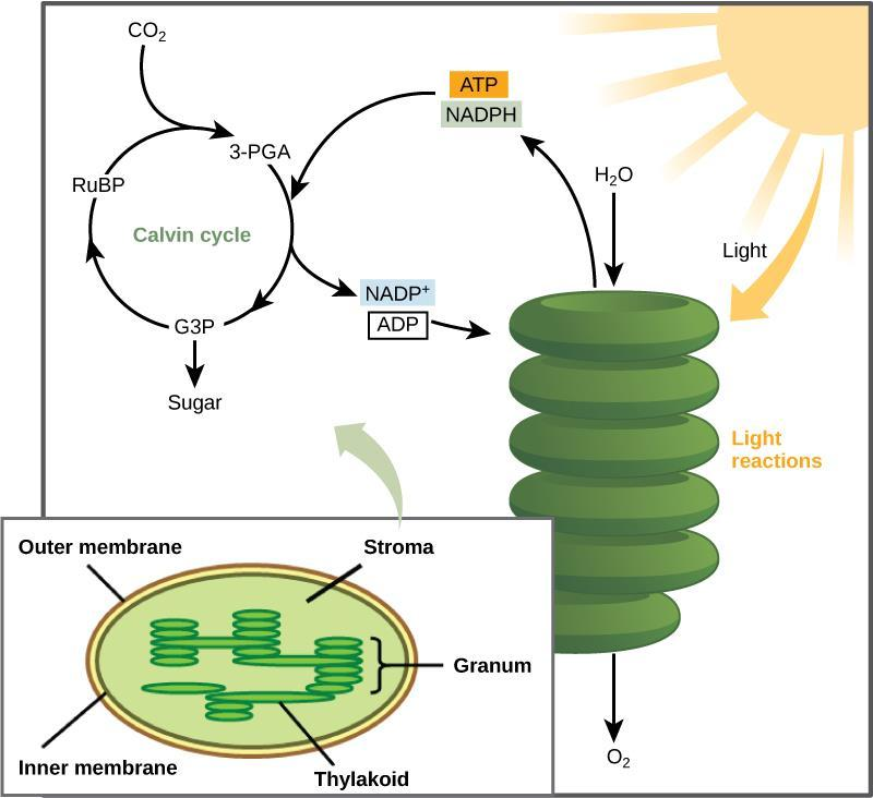 II. Making Glucose - Photosynthesis The Synthesis: A series of chemical reactions called the Calvin cycle Uses energy stored in ATP & NADPH molecules from photo part to
