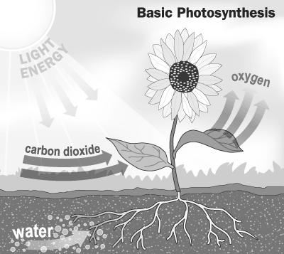 Photosynthesis Making food out of energy Sunlight is the main source of energy in photosynthesis. Sunlight has different light wavelenths. Yummy glucose What is Photosynthesis?