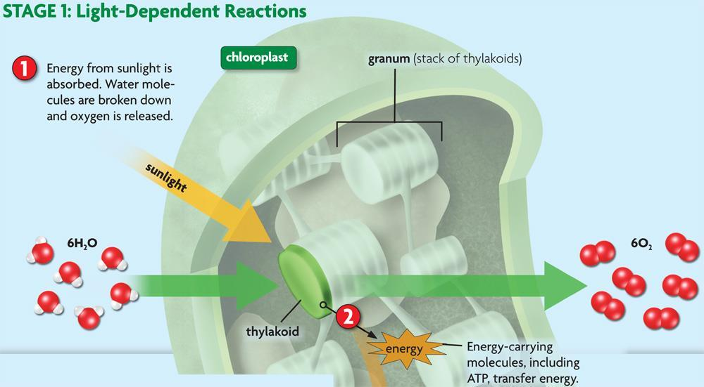 energy chlorophyll absorbs energy energy is transferred along thylakoid membrane