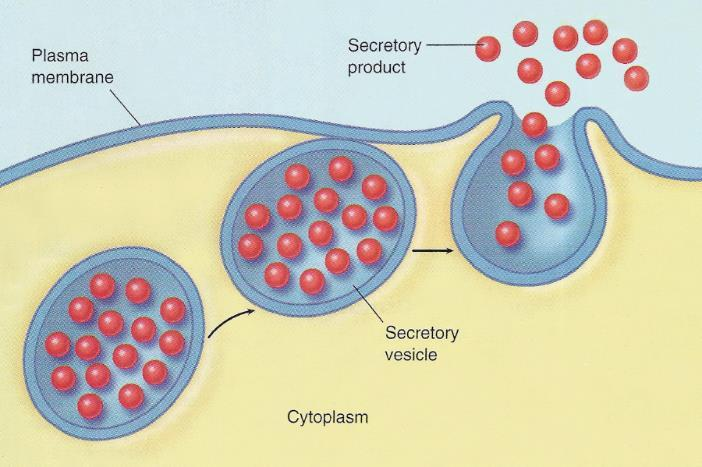 7. Vesicles small bubbles that