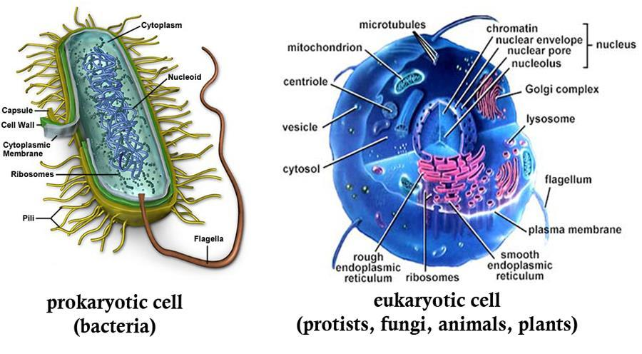 Primitive Cells Prokaryotic Cells DNA free in the